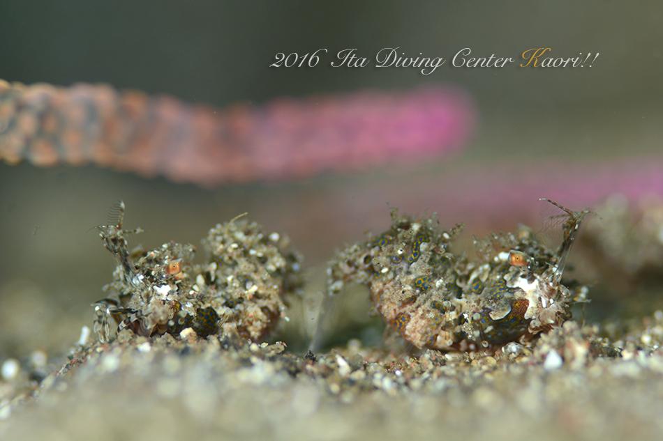 サガミツノメエビ